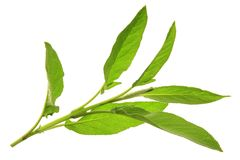 Sage. Fresh sage leaves (Salvia officinalis) before a white background Stock Image