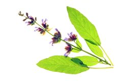 Sage. Blossom and leaves of Sage (Salvia officinalis) before a white background Royalty Free Stock Image