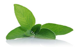 Sage. Leaves on white background Stock Photos