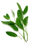 Sage. On white Royalty Free Stock Photography