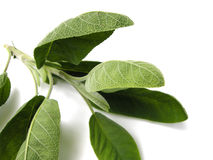 Sage. A branch of fresh picked green Sage (Salvia officinalis) isolated on white background Stock Photos