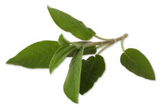 Sage. Leaf on white background Royalty Free Stock Images