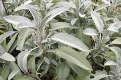 Sage. Aromatic leaves of sage in the garden Royalty Free Stock Photos