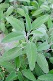 Sage. Aromatic plant of organic sage Stock Photography