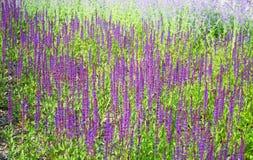 Sage Asherah & x28; lat Salvia nemorosa& x29; Royalty-vrije Stock Foto