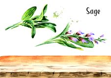 Sage background elements. Plant. Leaf and flower. Watercolor hand drawn illustration, isolated on white background.  Stock Photo