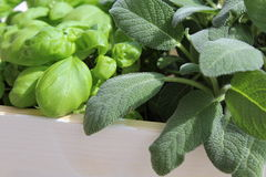 Sage and basil. Cultivating herbs in the home or garden Stock Image