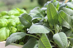 Sage and basil. Cultivating herbs in the home or garden Royalty Free Stock Photography