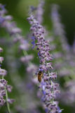 Sage Bee Stock Photos