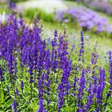 Sage in Bloom. Blue flowerbed with meadow sage, Salvia nemarosa Stock Image