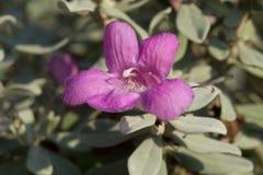 Sage Bloom Royaltyfria Bilder
