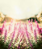 Sage blooming in garden or park on sunset nature background. Royalty Free Stock Photo