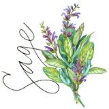 Sage. Botanical drawing of a Sage. Watercolor beautiful illustration of culinary herbs used for cooking and garnish Royalty Free Stock Photography