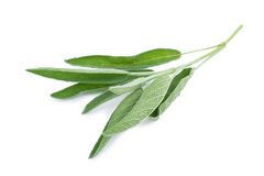 Sage branch. Isolated on a white background Royalty Free Stock Image