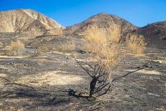 Sage Brush brûlé dans la savane Photo libre de droits