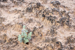 Sage brush and crypto soil crust Royalty Free Stock Images
