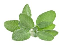 Sage. Bunch isolated on white Royalty Free Stock Photography