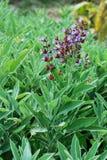 Sage bush Royalty Free Stock Image