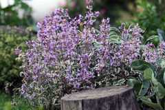 Sage bush blooming. In the vegetable garden. Sage blooms with pink to purple flowers and is a versatile and useful medicinal plant in the vegetable garden Royalty Free Stock Image