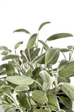 Sage bush vertical. Vertical sage bush isolated on a white background royalty free stock photography