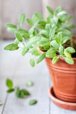 Sage in a ceramic flower pot. Against wooden background stock photography