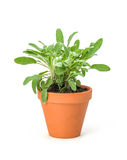 Sage stock images