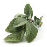 Sage. Close up of plant of mint family against white background Royalty Free Stock Photo