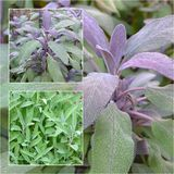 Sage. A collage of sage plants stock photos