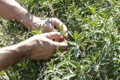 Sage collect. In the farm Royalty Free Stock Image
