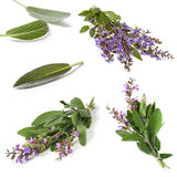 Sage Collection Isolated. Sage collection, isolated on white.  Fresh herbs, leaves and sprigs, with purple flowers Stock Photos