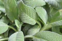 Sage. Cultivating herbs in the home or garden Royalty Free Stock Photography