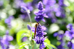 Sage and Dragonfly. Royalty Free Stock Image