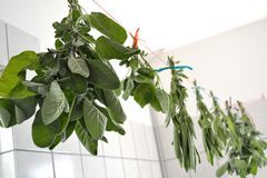 Sage is dried - medicinal herb. Sage is hung up to dry in a room - medicinal herb royalty free stock images