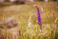Sage flower close-up. Flora of Don steppe, Russia Stock Photo