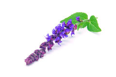 Sage flower isolated Royalty Free Stock Photography