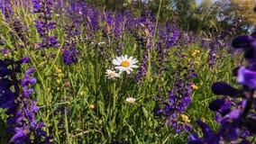 Sage Flower Meadow Imágenes de archivo libres de regalías
