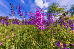 Sage Flower Meadow Stock Photography