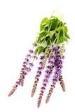 Sage flowers Stock Photo