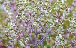 Sage flowers as a background royalty free stock photos