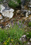 Sage flowers. Sage blooms in rocky terrain in Montenegro Royalty Free Stock Photos