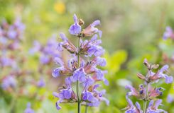 Sage flowers closeup view and daylight. salvia officinalis royalty free stock photography