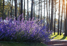 Sage flowers in morning sun. The sage flowers in morning sun royalty free stock images
