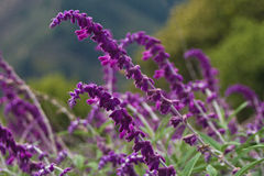 Sage Flowers. Northern California sage in bloom on a cloudy day Stock Image