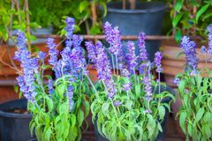 Sage Flowers porpora Fotografia Stock