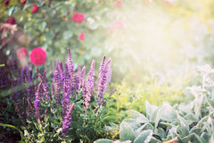 Sage flowers on roses garden or park background Royalty Free Stock Image