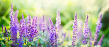 Sage flowers on sunny garden or park background, panorama. Sage flowers on sunny garden or park background, banner for website royalty free stock photography