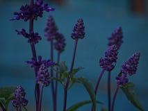 Sage flowers unfocus stock photography