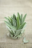 Sage. Fresh bunch of sage leaves Royalty Free Stock Images