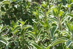 Sage. Fresh sage in the garden Stock Photography