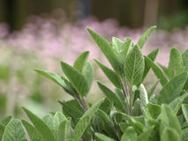 Sage in the garden Royalty Free Stock Image